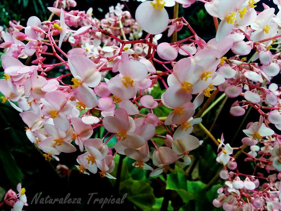 Flores abundante de una begonia