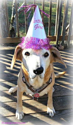 rescued senior hound dog in birthday hat