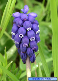 Muscaris non identifiés - Muscari sp.