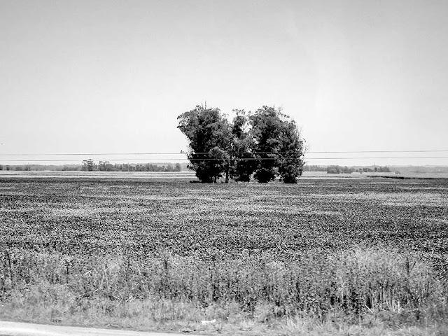 Dos arboles en el medio de un campo sembrado.