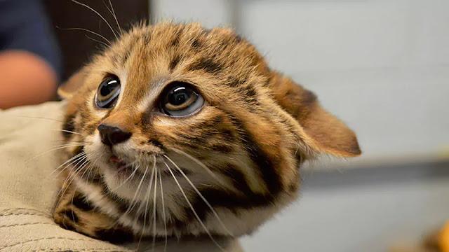 Kucing-Kucing Asli Indonesia  Ini Terancam Punah