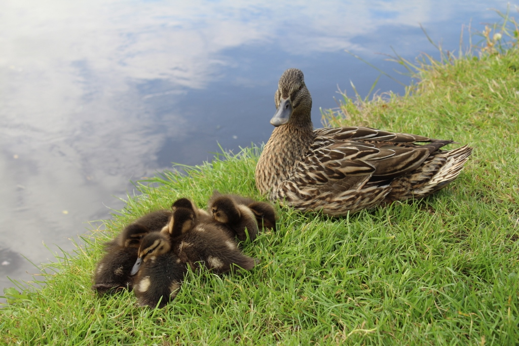 Little Things I've Loved This Week, Ducklings