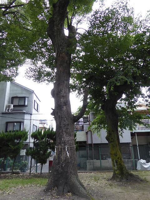 寝屋川市 神田天満宮 指定番号28番、樹高16.54m、幹周り1.97m、推定樹齢200年の大クス