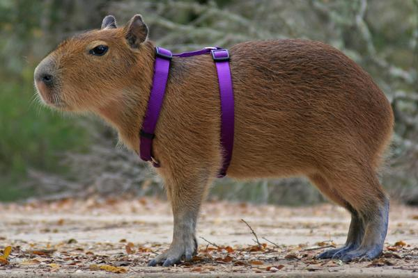 Capybara | The Life of Animals