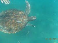 Suppenschildkröte © Canarian Sea