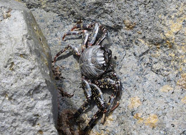East Atlantic Sally Lightfoot crabs (Grapsus adscensionis) - Tenerife