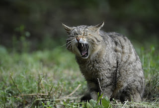 A cat standing with its mouth open showing its teeth.