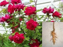 manfaat mawar sebagai obat herbal keputihan
