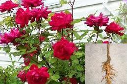 Obat herbal keputihan dari akar mawar