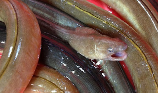 Cá nhệch là cá gì? giá bao nhiêu tiền 1kg?