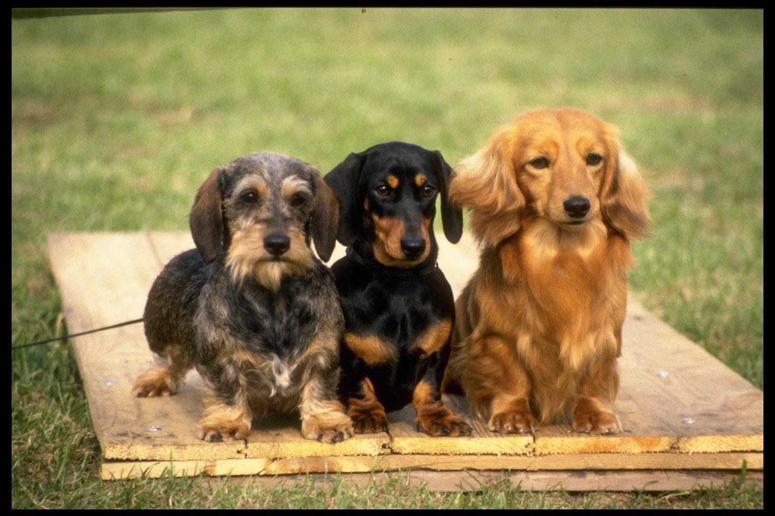 85012e15c86 Jezevčík je skupina plemen německých loveckých psů jamníků. Podle typu  srsti se jezevčíci dělí na hladkosrsté