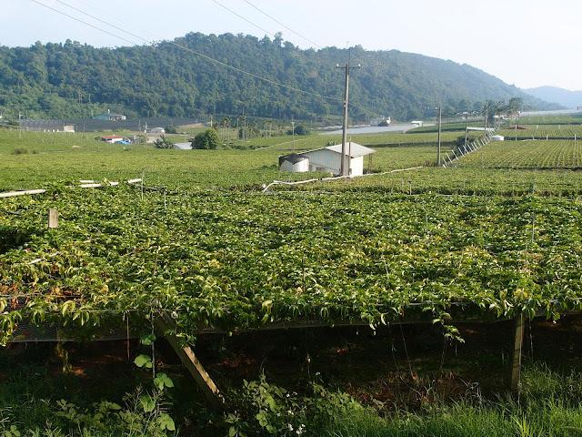 dapingding passion fruit farm