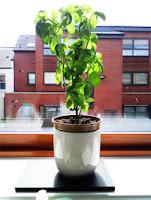 Plant pot on windowsill.