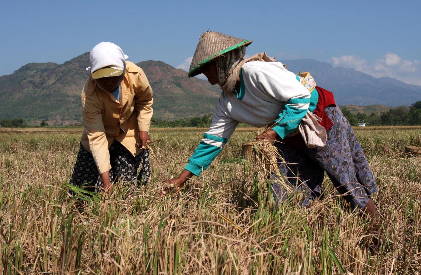 amalan para petani untuk menanam padi satria larangan