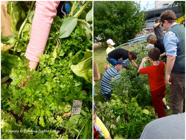 Padres, alumnos y maestros en plena cosecha  - Chacra Educativa Santa Lucía