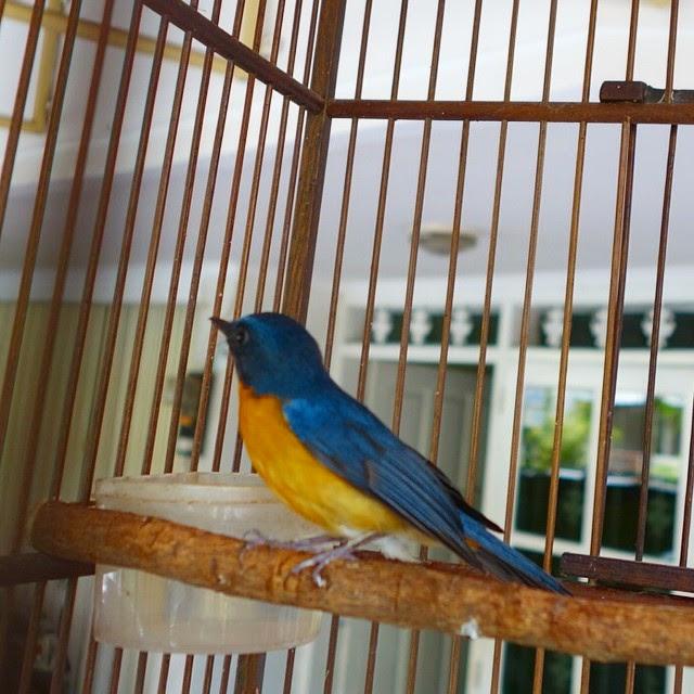 Burung sulingan atau yang dengan nama lainnya disebut juga burung tledekan merupakan buru Tips Memilih Suara Masteran yang Pas Untuk Burung Tledekan