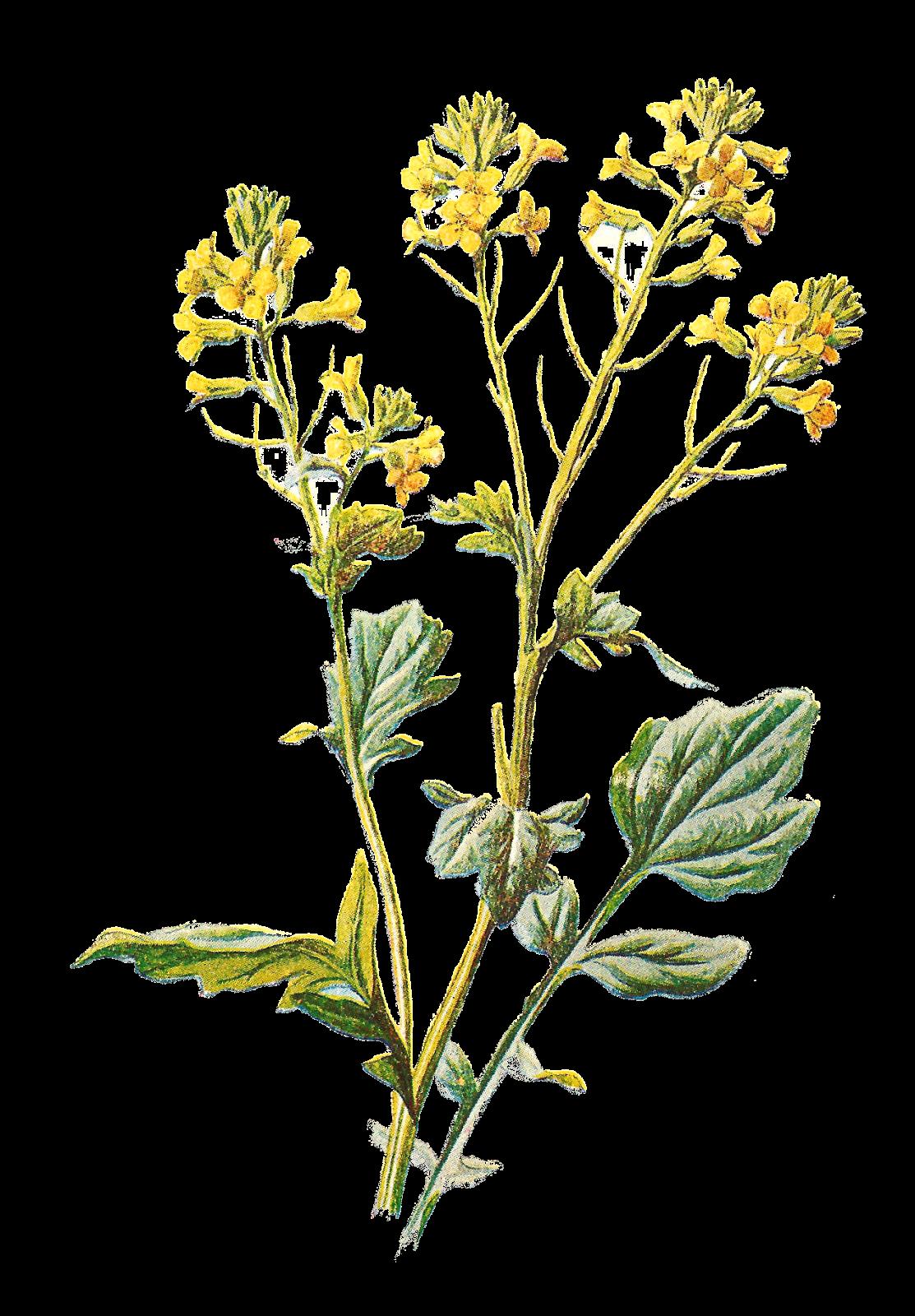 Antique Images: Wildflower Artwork Free Illustrations ...