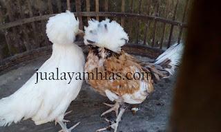 Ayam Poland Usia 4 Bulan