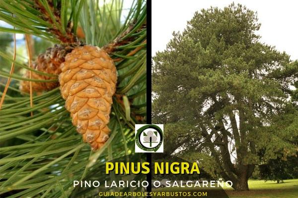 El Pinus nigra o pino laricio es un árbol que puede alcanzar hasta 40 m de altura, copa de forma variable.