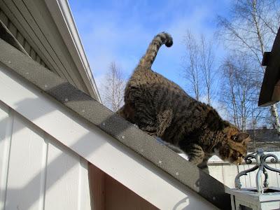 kissa, Tintti, kevät, kissa katolla, kevättaivas