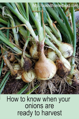 How do you know when your onions are ready to harvest? Find out here, and how to cure your harvest. From Oak Hill Homestead