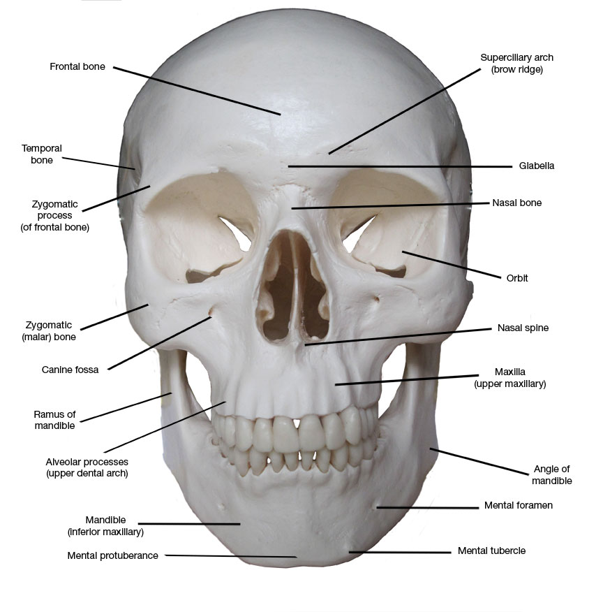 Kreated by Krause: Artistic Anatomy Part 1: Frontal Skull Bones