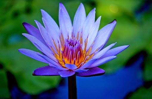 Group Of Blue Lotus Flower
