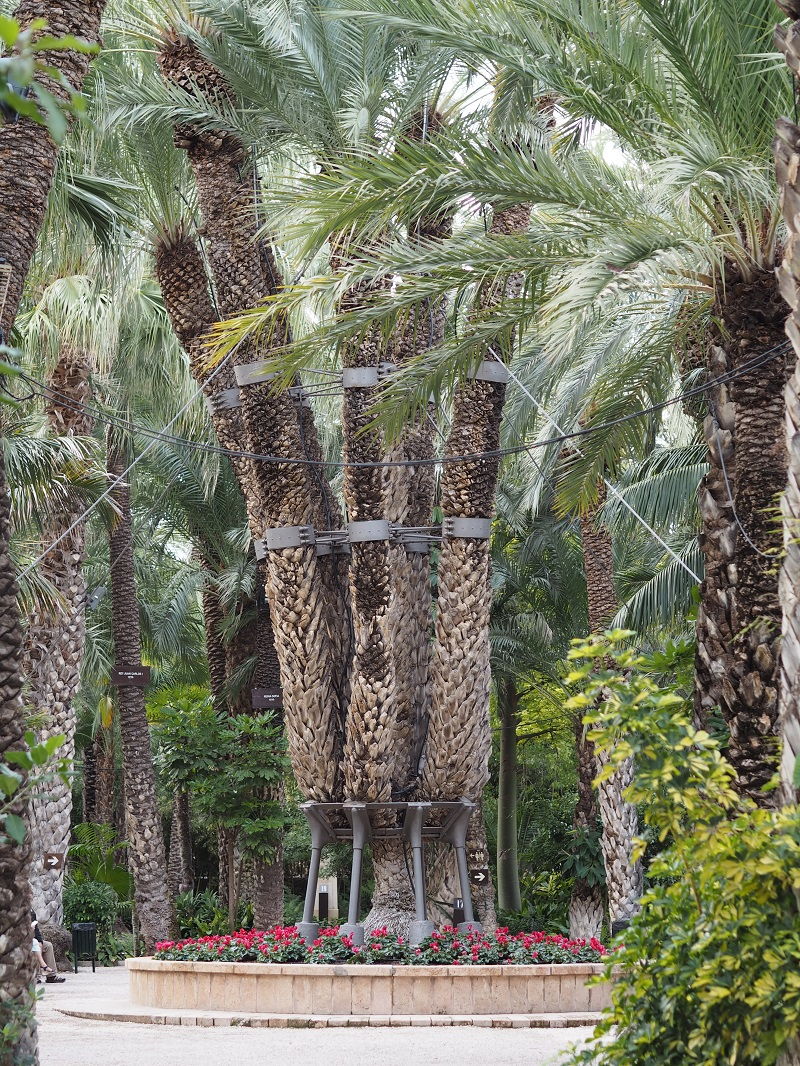 The Imperial palm at Huerto del Cura