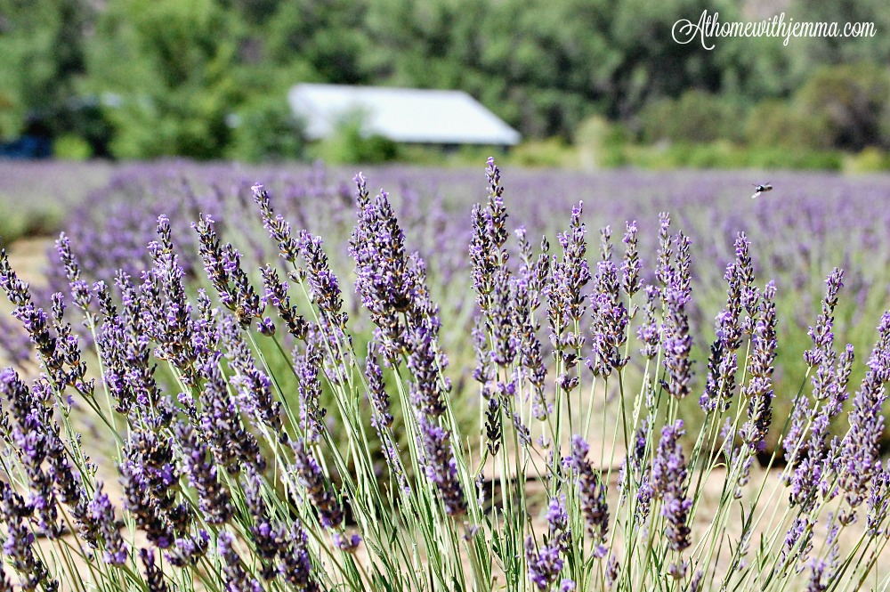 lavender-farm-flower-flowers-athomewithjemma