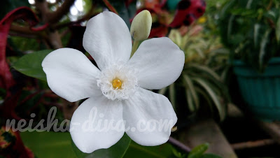 Milky way flower koleksi Rumah Bunga Neisha