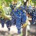 Mehr Land, mehr Wein, mehr Pays d'Oc IGP