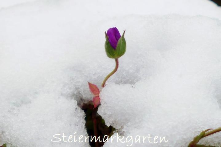 Knospe-im-Schnee-Steiermarkgarten