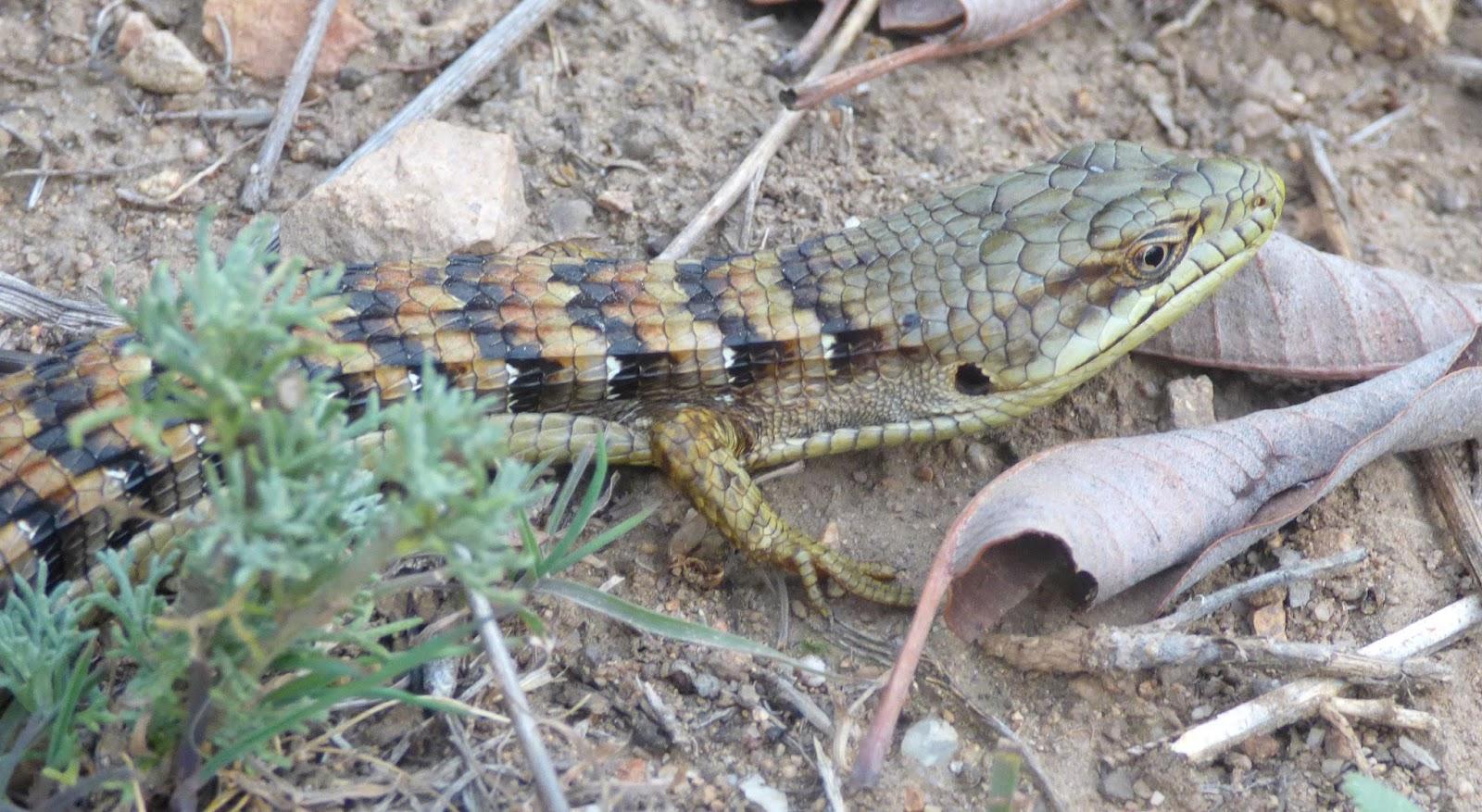 the malibu post living with lizards