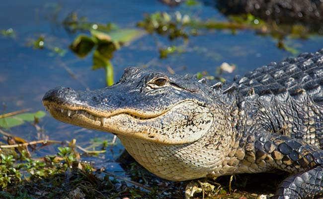 Aligator Amerika