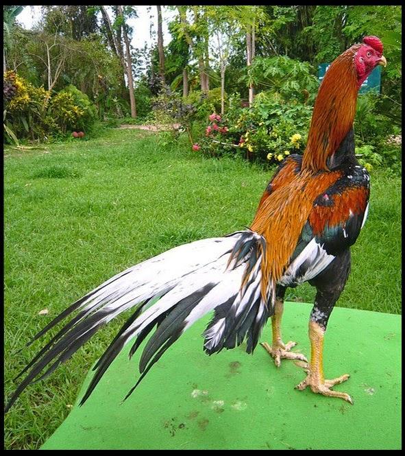 Gambar Ayam Bangkok Bagus dan Istimewa | Ayam Juara