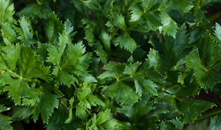 Some Celery Benefits And Benefits To Health