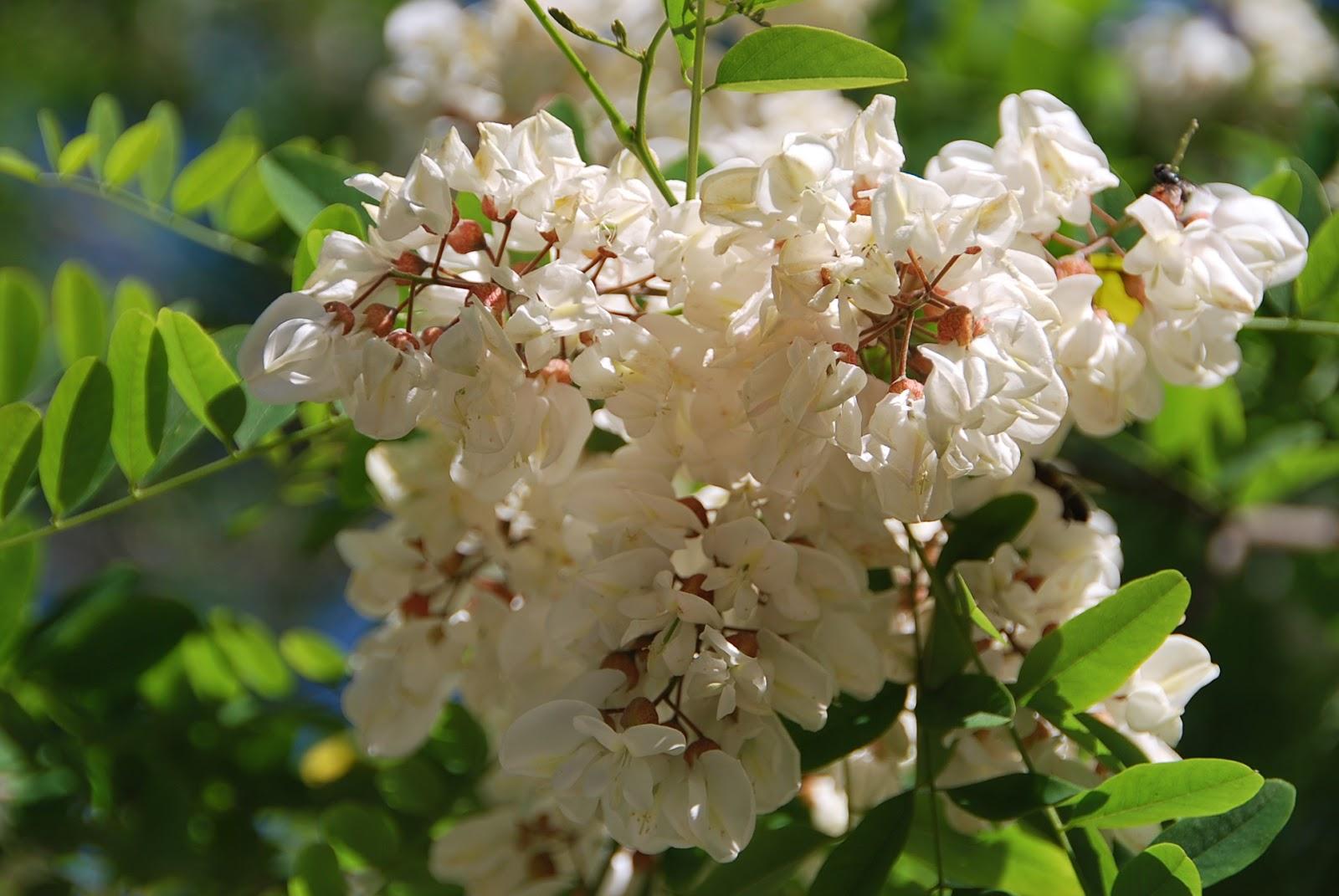 Fotos De Flores árboles Y Flores De Las Acacias