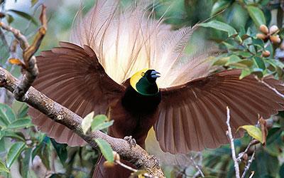 AVE-DO-PARAÍSO - Paradisaeini é uma tribo de aves passeriformes da família Paradisaeidae.