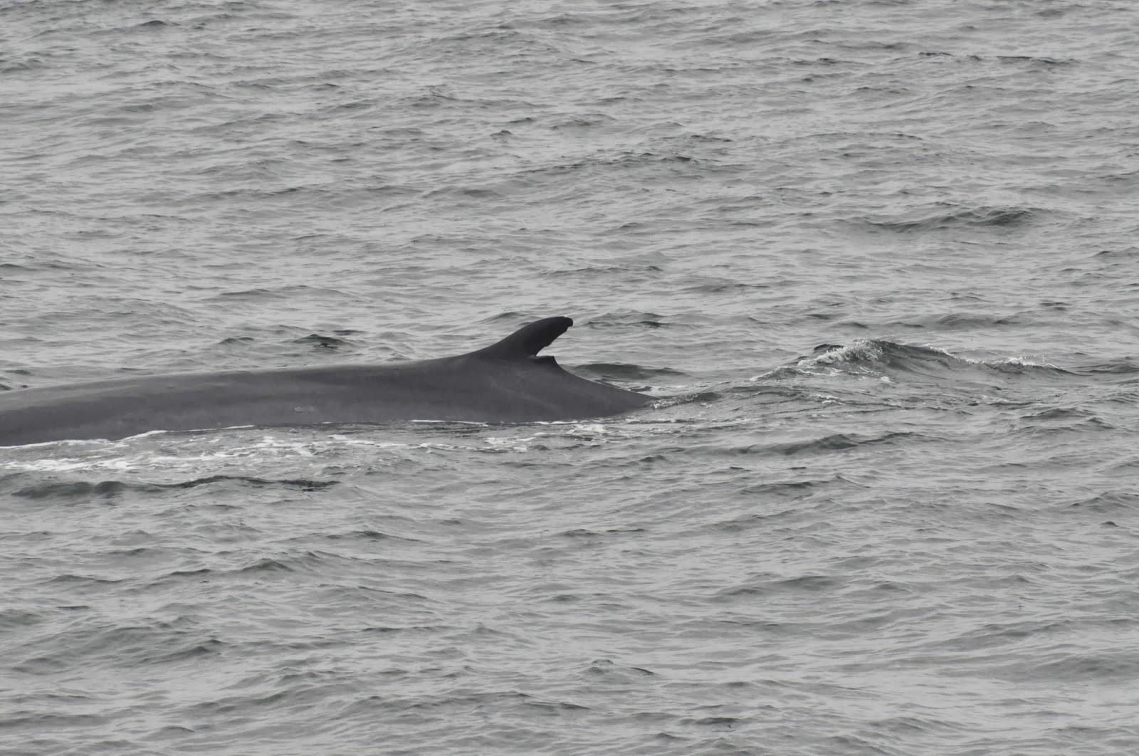 Blue Ocean Society S Whale Sightings