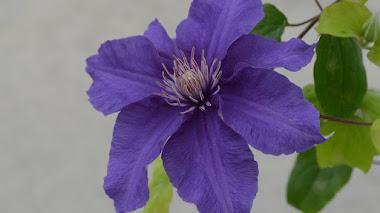 Flores 'Ultra Violet', el color del año 2018 según Pantone