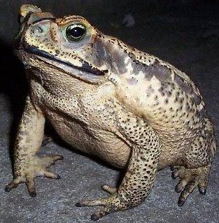 Foto de un sapo en la noche