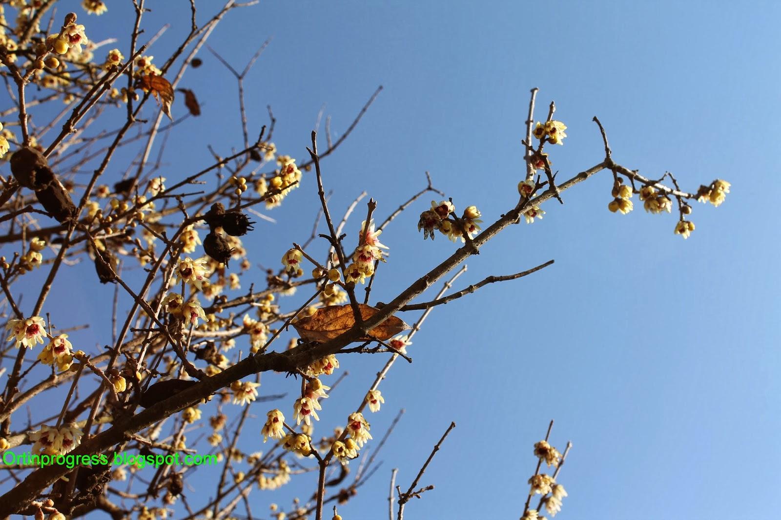 Calicanto Fiore D Inverno orti in progress: ultimi omaggi all'inverno: il pot-pourri