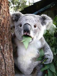 Farting koala