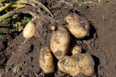 burgonyatermesztés, burgonya, pityóka, mezőgazdaság, Hargita megye, Székelyföld