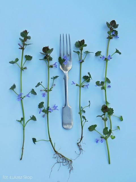 jadalne kwiaty kurdybanka