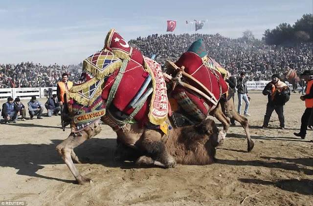 مهرجان مُصارعة الجِمال
