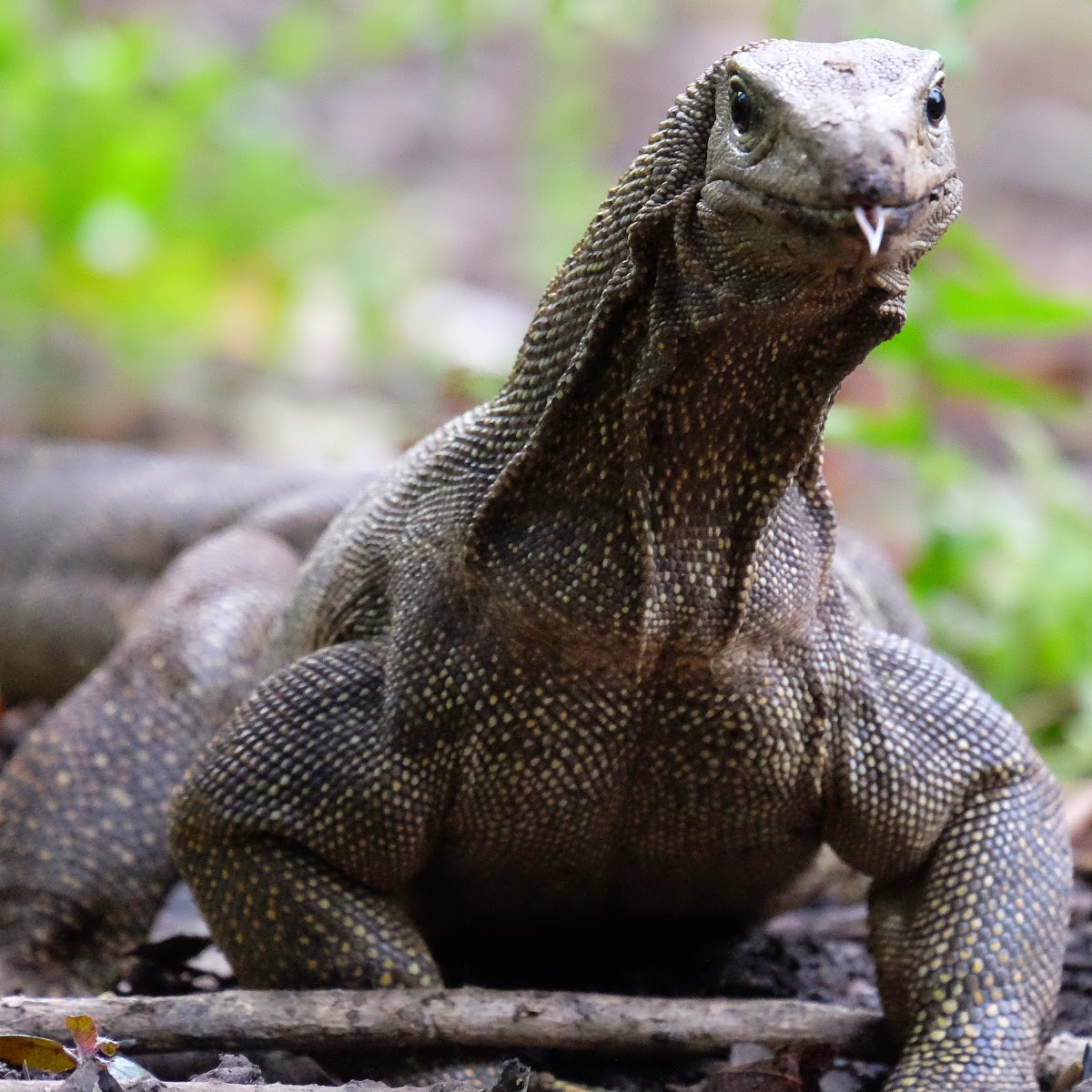 Monitor Lizard Varanus Salvator
