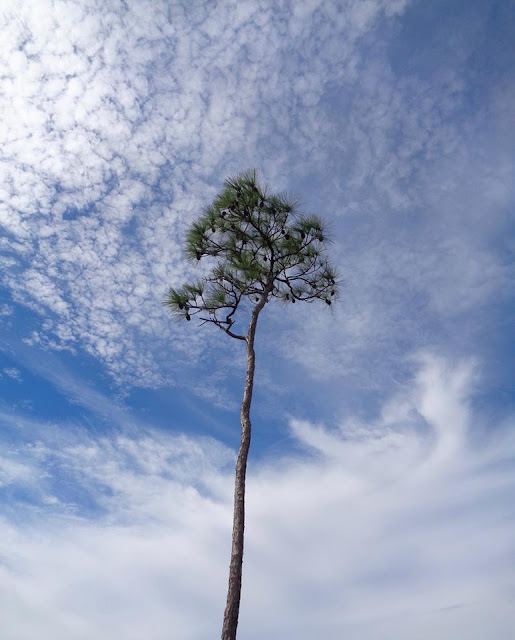 Slash Pine and Blue Skies at Everglades National Park
