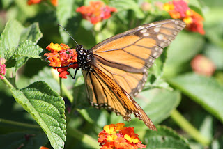 Vivero Growers Nursery Monarch on Lantana
