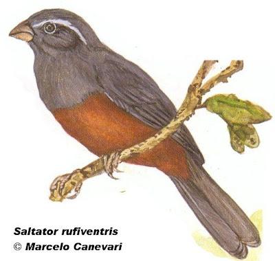 Pepitero colorado Saltator rufiventris